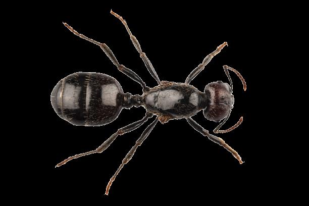 fourmi-lasius-niger