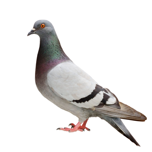 volatile-pigeon