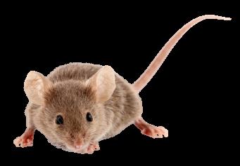 rongeur-souris-domestique